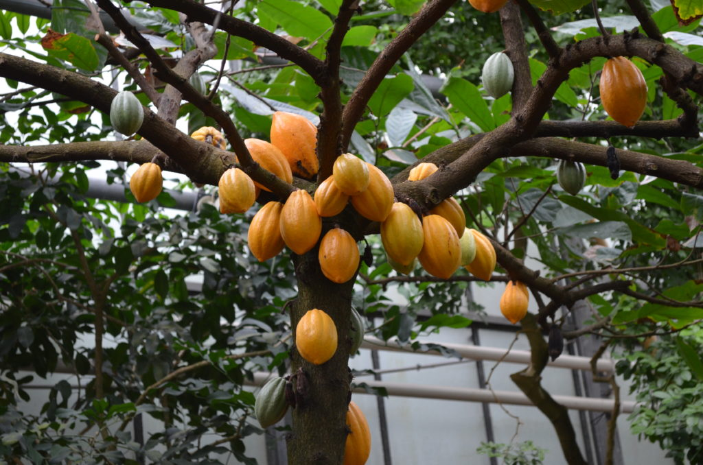 Kakaobaum im Gewächshaus
