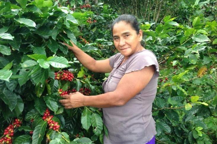 Frau pflückt Kaffeekirschen